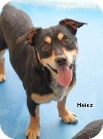 Dachshund/Corgi Mix Dog for adoption in Danielsville, Georgia - Heinz