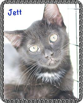 Domestic Shorthair Kitten for adoption in Corpus Christi, Texas - Jett