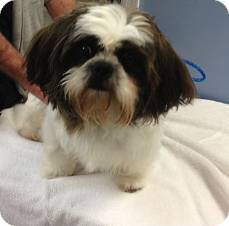 Shih Tzu Dog for adoption in Hagerstown, Maryland - Christmas Puddin'
