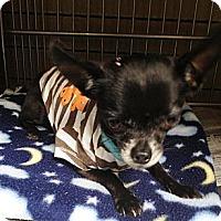 Adopt A Pet :: jack - Poulsob, WA