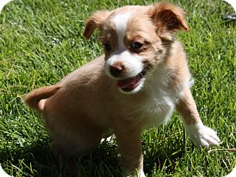 Cocker Spaniel/Cavalier King Charles Spaniel Mix Puppy for adoption in Henderson, Nevada - Mosey