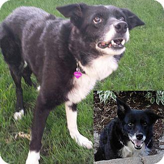 Border Collie Mix Dog for adoption in Minneapolis, Minnesota - Sandy