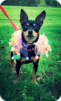 Miniature Pinscher Mix Puppy for adoption in Bedminster, New Jersey - CoCo