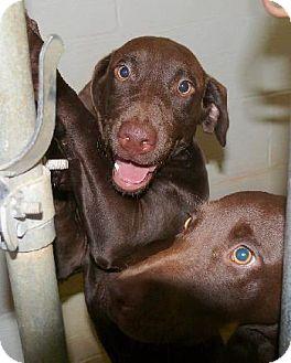 Labrador Retriever Dog for adoption in Wetumpka, Alabama - #81605  'Snickers'