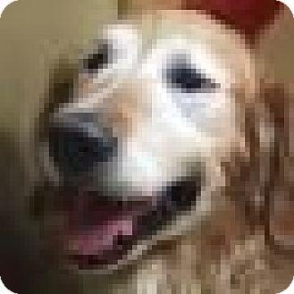 Golden Retriever Dog for adoption in Denver, Colorado - Sam