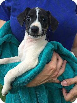 Fox Terrier (Smooth) Mix Puppy for adoption in Orland Park, Illinois - Aramis