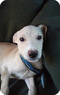 Labrador Retriever/Hound (Unknown Type) Mix Puppy for adoption in Santee, California - Bently