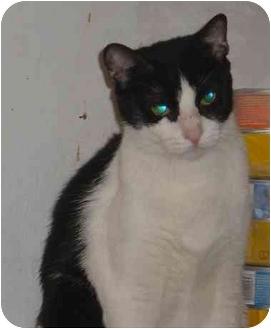 Domestic Shorthair Cat for adoption in Bedford, Massachusetts - Munchkin