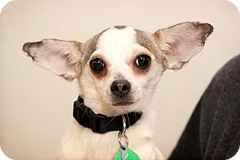 Chihuahua Mix Dog for adoption in Tijeras, New Mexico - Spencer