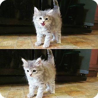 Domestic Longhair Kitten for adoption in Lexington, Kentucky - Cloud