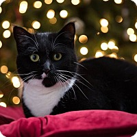 Adopt A Pet :: Sugar Foot - Stafford, VA
