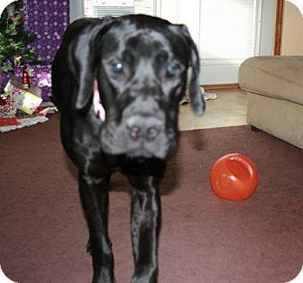 Great Dane Puppy for adoption in Springfield, Illinois - Jessie