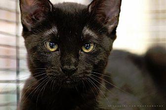 Domestic Shorthair Kitten for adoption in Houston, Texas - JOKER