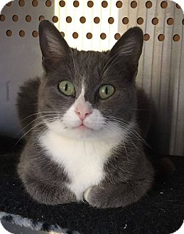 Domestic Shorthair Cat for adoption in Mansfield, Texas - Bambi