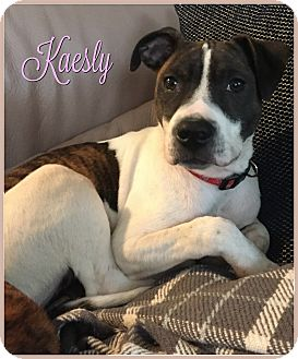 Boxer/Hound (Unknown Type) Mix Puppy for adoption in Elburn, Illinois - Kaesly