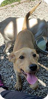 Labrador Retriever Mix Puppy for adoption in ST LOUIS, Missouri - Margie