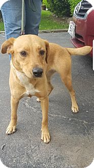 Labrador Retriever Mix Dog for adoption in Union Grove, Wisconsin - Jordan