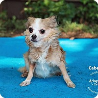Adopt A Pet :: Cabernet - Shawnee Mission, KS