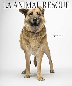 German Shepherd Dog Dog for adoption in Los Angeles, California - Amelia