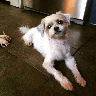 Shih Tzu Dog for adoption in New York, New York - Shawna