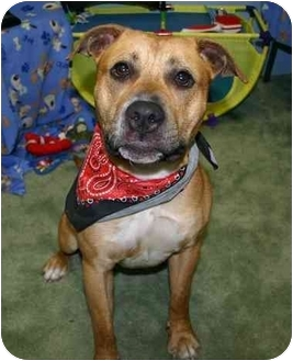 American Staffordshire Terrier Mix Dog for adoption in Auburn, California - Rory