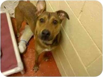 Shepherd (Unknown Type)/Labrador Retriever Mix Dog for adoption in Youngwood, Pennsylvania - Sarge