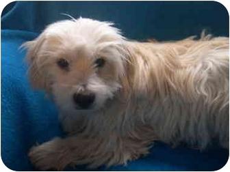 Shih Tzu/Dachshund Mix Dog for adoption in Wauseon, Ohio - Sam