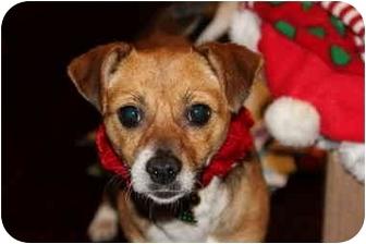 Beagle/Terrier (Unknown Type, Small) Mix Dog for adoption in San Pedro, California - Lola