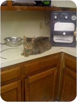 Domestic Shorthair Cat for adoption in Baton Rouge, Louisiana - Max