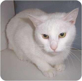 Domestic Shorthair Cat for adoption in Columbia, South Carolina - Alana