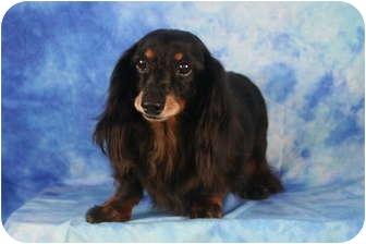 Dachshund Mix Dog for adoption in Ft. Myers, Florida - Jalin