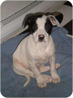 Labrador Retriever/Dalmatian Mix Puppy for adoption in South Plainfield, New Jersey - Merry
