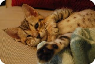 Domestic Shorthair Kitten for adoption in Chicago, Illinois - Iris