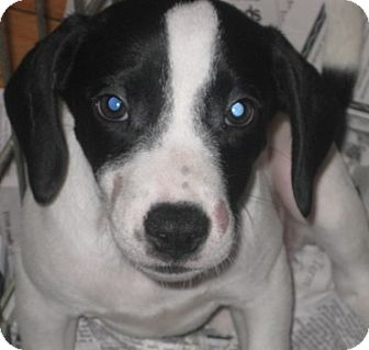 Beagle/Springer Spaniel Mix Puppy for adoption in Chicago, Illinois - Dixie*ADOPTED!*