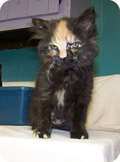 Domestic Longhair Kitten for adoption in Dover, Ohio - Topsy