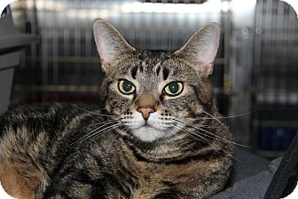 Domestic Shorthair Cat for adoption in Forked River, New Jersey - Carson