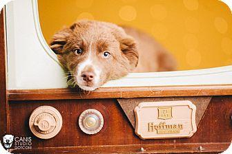 Australian Shepherd/Border Collie Mix Puppy for adoption in Portland, Oregon - Rose
