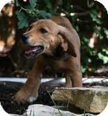 Beagle/Dachshund Mix Puppy for adoption in Windham, New Hampshire - Goldie