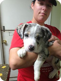 Catahoula Leopard Dog/Border Collie Mix Puppy for adoption in Norman, Oklahoma - Blue