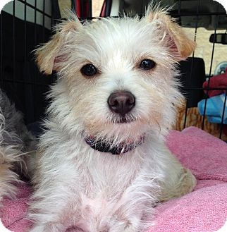 Terrier (Unknown Type, Small) Mix Puppy for adoption in Los Angeles, California - Piper