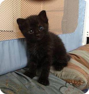 Domestic Shorthair Kitten for adoption in Gilbert, Arizona - Safari