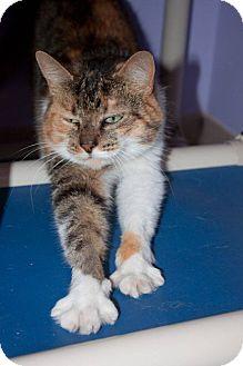 Calico Cat for adoption in Ann Arbor, Michigan - Wilma