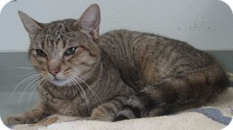 Domestic Shorthair Cat for adoption in Westminster, California - Roma