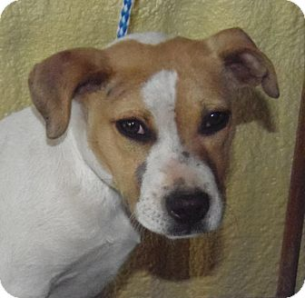 Pit Bull Terrier Mix Dog for adoption in Post, Texas - Tuffy