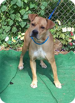 Shar Pei Mix Dog for adoption in Marietta, Georgia - CHATO