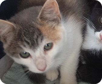 Calico Kitten for adoption in oxford, New Jersey - Cookie