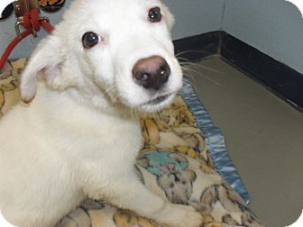 Shepherd (Unknown Type) Mix Puppy for adoption in Fort Lupton, Colorado - Corita
