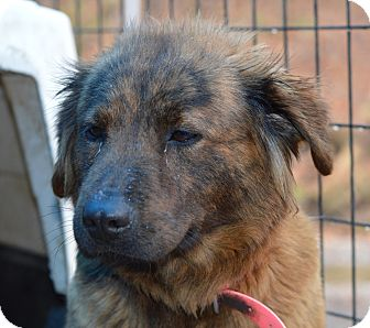 Shepherd (Unknown Type) Mix Dog for adoption in Henderson, North Carolina - Coco