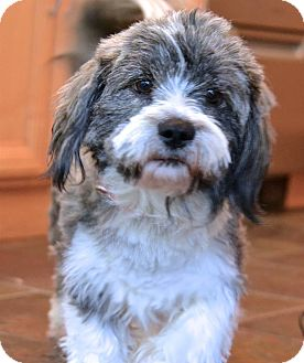 Lhasa Apso Mix Dog for adoption in Lincoln, California - Zippy