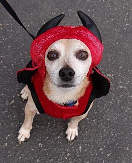 Chihuahua Dog for adoption in Seal Beach, California - Timmi